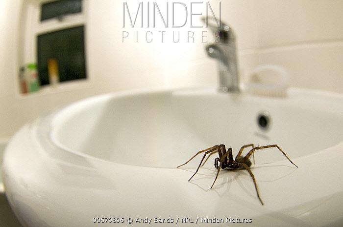 House spider (Tegenaria gigantea) on edge of sink in house, Hertfordshire, England  -  Andy Sands/ npl