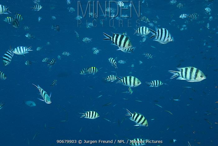 Large schooling group of Sergeant Major fish, p�ntano (Abudefduf saxatilis) Indo-pacific  -  Jurgen Freund/ npl