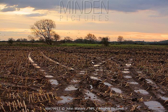 Winter stubble, maize field, Somerset, UK, 2008  -  John Waters/ npl