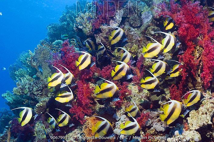 Red Sea bannerfish (Heniochus intermedius) large school with soft corals Egypt, Red Sea  -  Georgette Douwma/ npl