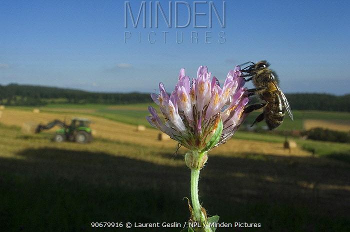Honey bee (Apis mellifera) feeding on Clover flower, harvest landscape in background, Europe  -  Laurent Geslin/ npl