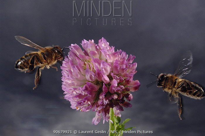 Honey bee (Apis mellifera) worker bees flying to feed on and collect pollen from Clover flower, Europe, August  -  Laurent Geslin/ npl