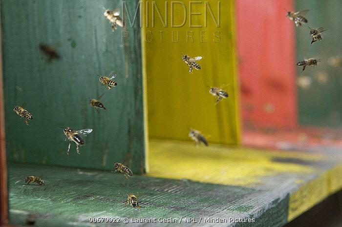 Honey bee (Apis mellifera) worker bees flying into hive, Europe, August  -  Laurent Geslin/ npl