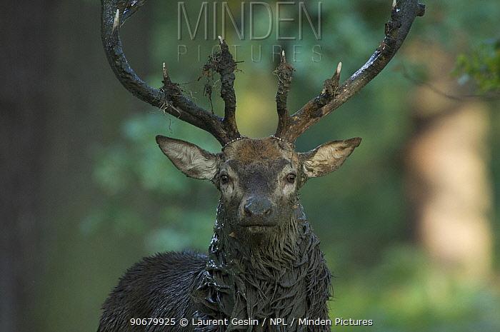 Red deer (Cervus elaphus) stag covered in mud during the rut, captive, UK  -  Laurent Geslin/ npl