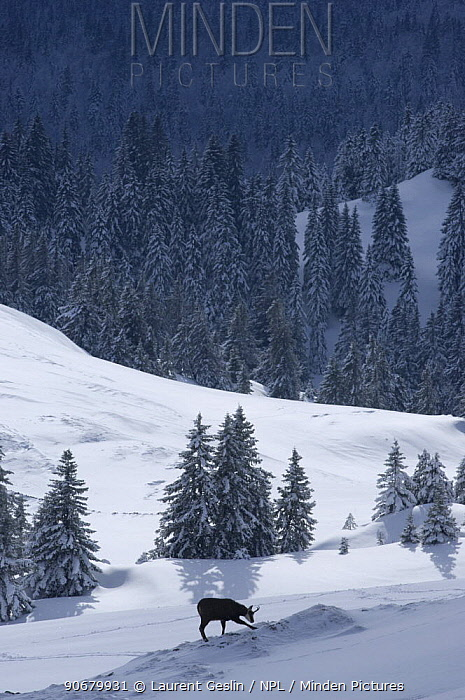 Chamois (Rupicapra rupicapra) digging for plants through snow, La Dole, Jura mountains, Switzerland, January 2009  -  Laurent Geslin/ npl