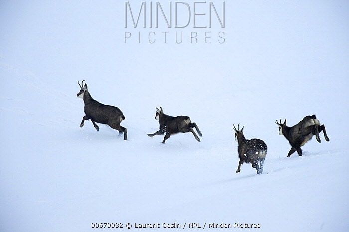 Chamois (Rupicapra rupicapra) running through the snow, La Dole, Jura mountains, Switzerland, January  -  Laurent Geslin/ npl