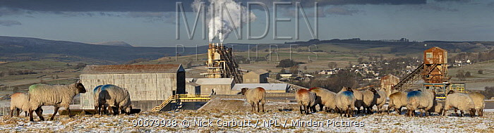Sheep grazing in front of Cemex Cement Works and Limestone Crushing Plant with Lowther Valley and eastern Lake District behind Shap Fell, Cumbria, UK January 2009  -  Nick Garbutt/ npl
