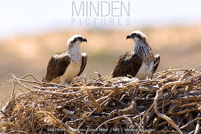 Osprey (Pandion haliaetus) pair on nest, Point Quobba, Carnarvon, Western Australia, November  -  Steven David Miller/ npl