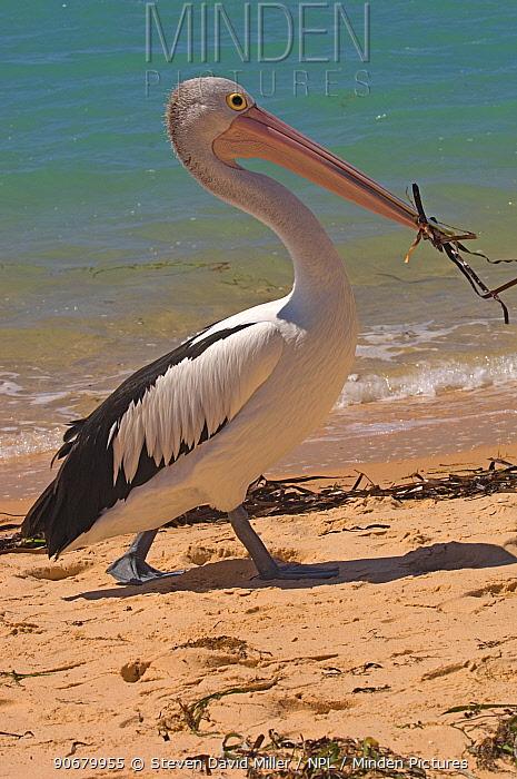 Australian pelican (Pelecanus conspicillatus) walking along beach with seaweed in its bill, Monkey Mia, Shark Bay, Western Australia, September  -  Steven David Miller/ npl