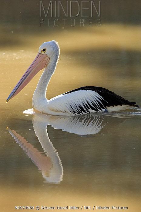 Australian pelican (Pelecanus conspicillatus) swimming in creek, Cooper Creek, Innamincka Regional Reserve, South Australia, June  -  Steven David Miller/ npl