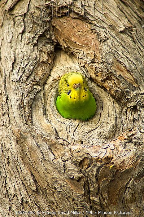 Budgerigar (Melopsittacus undulatus) peering out from its nesting hollow in tree, Cooper Creek, Innamincka, South Australia, July  -  Steven David Miller/ npl