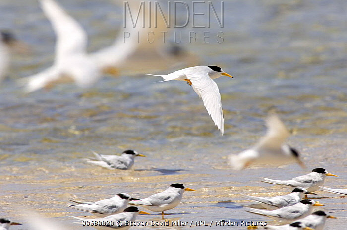 Flock of Crested tern (Sterna bergii) Point Quobba, Carnarvon region, Western Australia  -  Steven David Miller/ npl