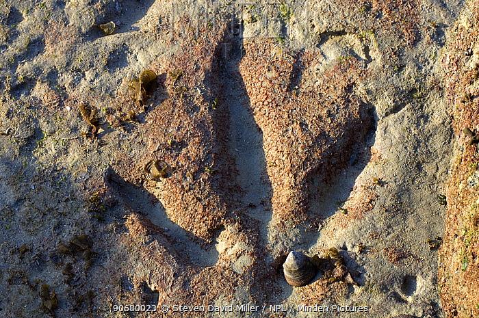 130 million year old megalosaur dinosaur footprints can be seen at low tide at Gantheaume Point, Broome, Western Australia  -  Steven David Miller/ npl