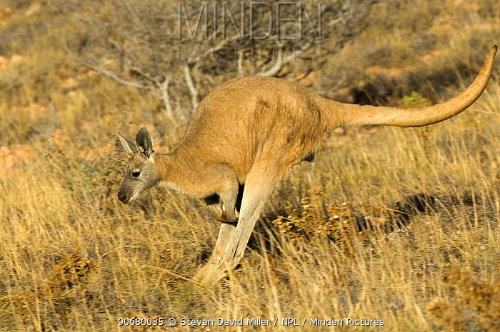 Euro, Common wallaroo (Macropus robustus)hopping through grassland, Cape Range National Park, Western Australia  -  Steven David Miller/ npl