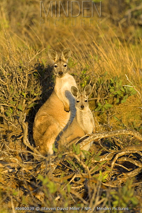 Euro, Common wallaroo (Macropus robustus)female and joey our foraging, Cape Range National Park, Western Australia  -  Steven David Miller/ npl