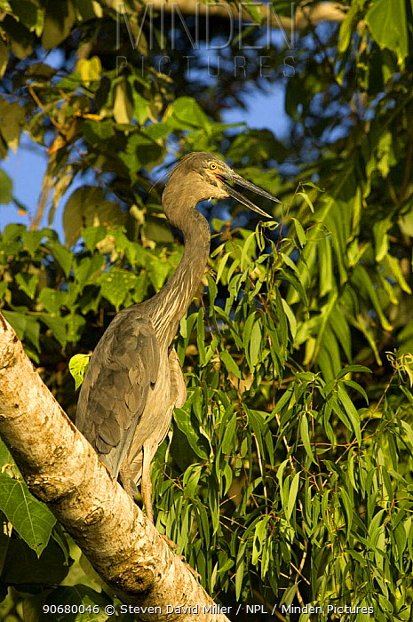 Great-billed heron (Ardea sumatrana) adult standing on tree branch along the banks of the Daintree River Wings open and panting to reduce body heat on hot day, North Queensland, Australia, September  -  Steven David Miller/ npl