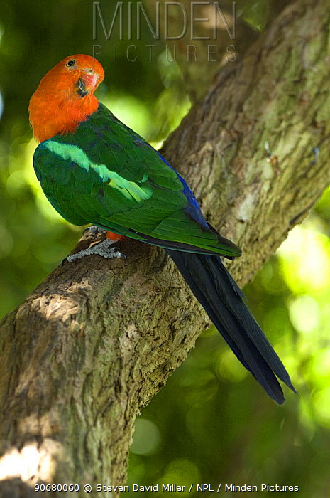King parrot (Alisterus scapularis) male perched in tree limb listening to other birds calling, captive, Adelaide Zoo, South Australia  -  Steven David Miller/ npl