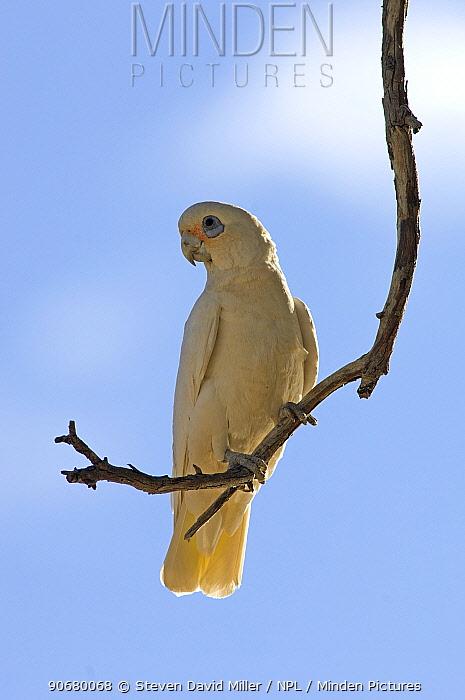 Little Corella (Cacatua sanguinea gymnopis) perched, Cooper Creek, Innamincka Regional Reserve, South Australia, July  -  Steven David Miller/ npl
