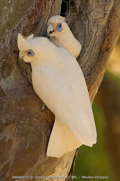 Little Corella (Cacatua sanguinea gymnopis) pair greeting when one returns to nest hole, Cooper Creek, Innamincka Regional Reserve, South Australia, July  -  Steven David Miller/ npl