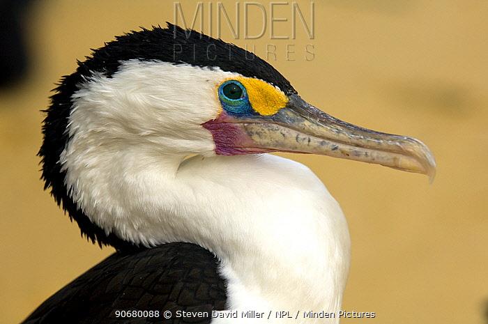 Pied cormorant (Phalcrococorax varius) Moreton Island, Queensland, Australia, October  -  Steven David Miller/ npl