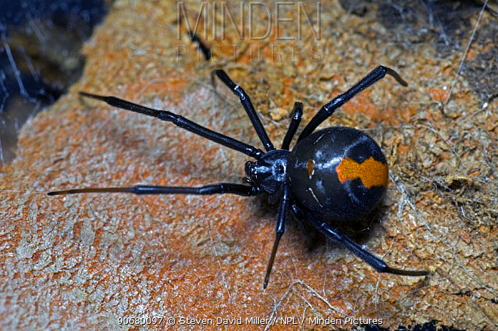 Redback Spider (Latrodectus mactans hasselti) on web over rock, Albany, Western Australia  -  Steven David Miller/ npl