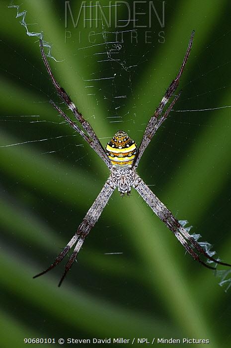 St Andrew's Cross spider (Argiope keyserlingi) female suspended in centre of web, Cairns Botanical Gardens, Queensland, Australia  -  Steven David Miller/ npl