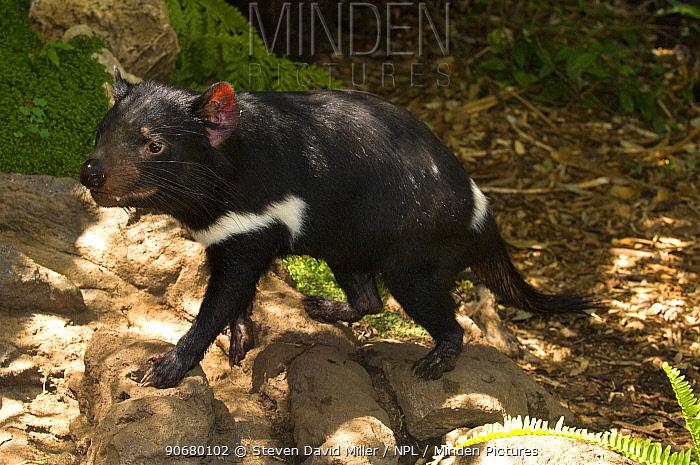 Tasmanian devil (Sarcophilus harrisii) captive, Adelaide Zoo, South Australia  -  Steven David Miller/ npl