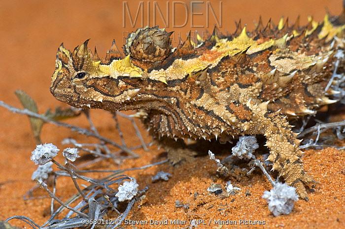 Thorny devil (Moloch horridus) sunning, Carnarvon, Western Australia  -  Steven David Miller/ npl