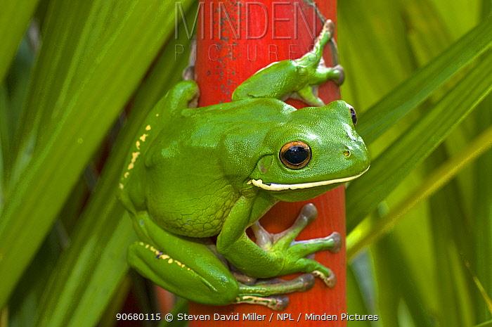 White-lipped, Giant tree frog (Litoria infrafrenata)  -  Steven David Miller/ npl