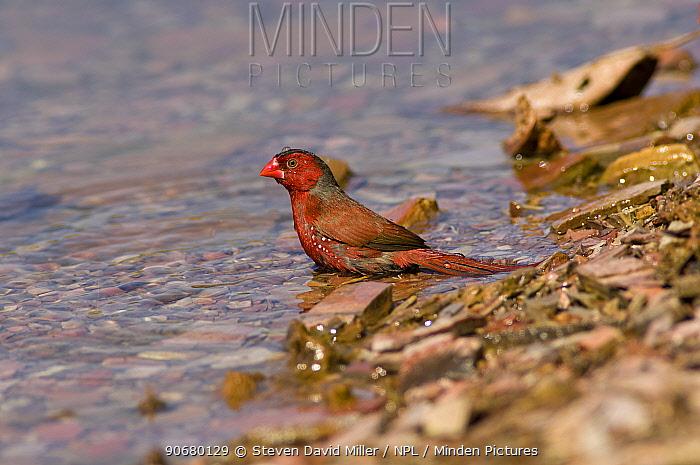 Crimson finch (Neochmia phaeton) bathing, Lake Kununurra, Western Australia  -  Steven David Miller/ npl