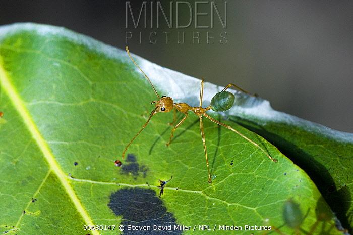 Green tree ant (Oecophylla smaragdina) Litchfield National Park, Northern Territory, Australia  -  Steven David Miller/ npl