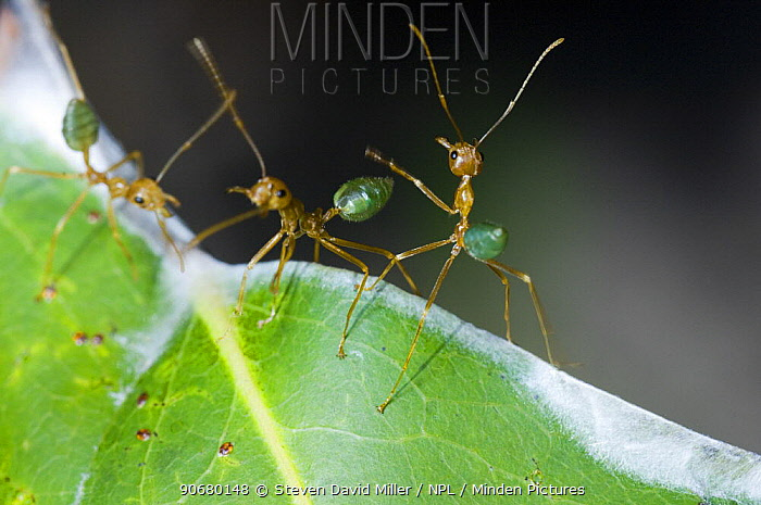 Green tree ant (Oecophylla smaragdina) ants interacting on nest made of leaves woven together, Litchfield National Park, Northern Territory, Australia  -  Steven David Miller/ npl
