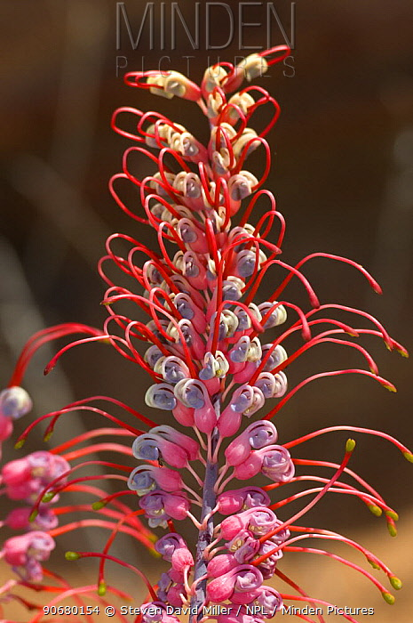 Grevillea (Grevillea sp) flowers unfurling, Boodjamulla (Lawn Hill) National Park, Queensland, Australia, June  -  Steven David Miller/ npl