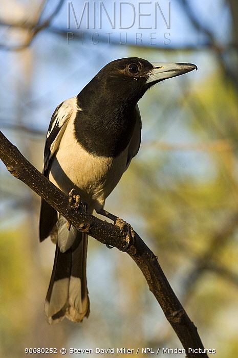 Pied Butcherbird (Cracticus nigrogularis picatus) perched, The Kimberley, Western Australia  -  Steven David Miller/ npl