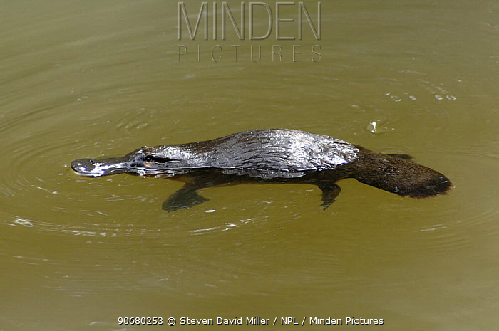 Wild Platypus (Ornithorhynchus anatinus) swimming on surface of water after ducking down to hunt for food, Eungella National Park, Queensland, Australia, April  -  Steven David Miller/ npl