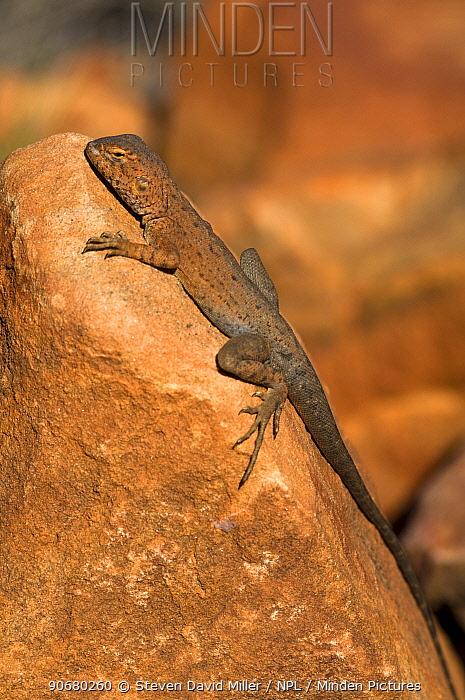 Ring-tailed dragon (Ctenophorus caudicinctus slateri)  -  Steven David Miller/ npl