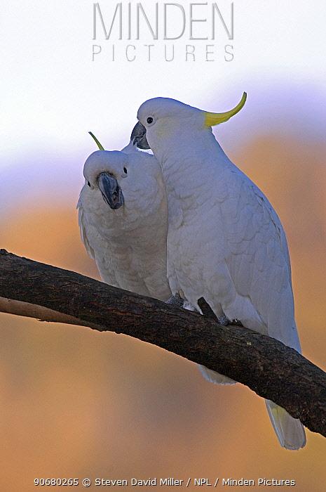 Sulphur-crested cockatoo (Cacatua galerita galerita)  -  Steven David Miller/ npl