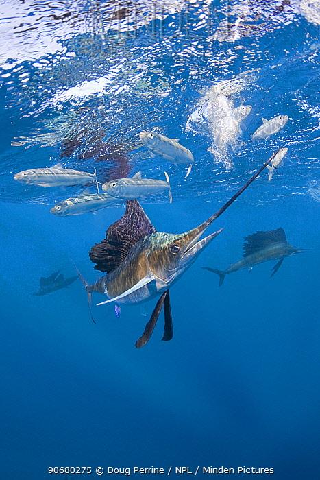 Atlantic sailfish (Istiophorus albicans) hits sardine with bill while feeding on bait ball of Spanish sardines, gilt sardine, pilchard, round sardinella (Sardinella aurita) off Yucatan Peninsula, Mexico, Caribbean Sea, Digitally manipulated  -  Doug Perrine/ npl