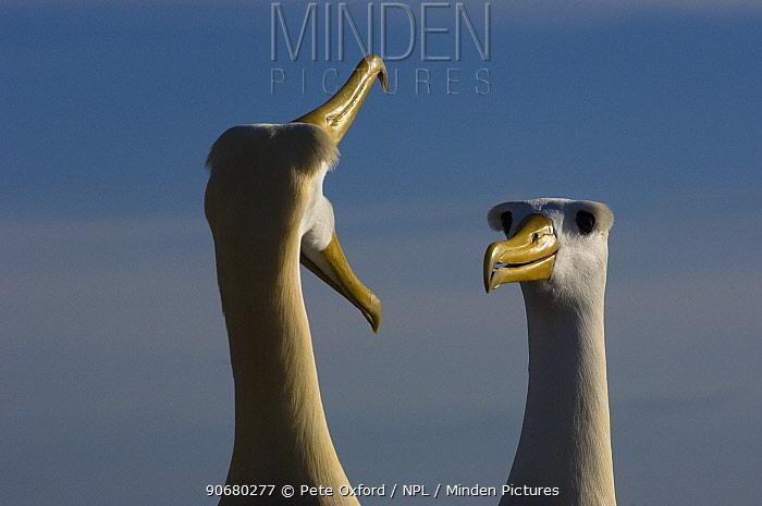 Waved Albatross (Phoebastria irrorata) courtship, Punta Cevallos, Espa�ola Island, Galapagos Islands, Ecuador, South America Endemic, Critically endangered  -  Pete Oxford/ npl
