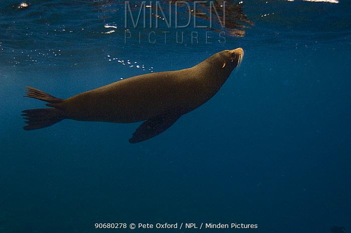 Galapagos Fur Seal (Arctocephalus galapagoensis) just below the surface off of Wolf Island, Galapagos Islands, Ecuador, South America  -  Pete Oxford/ npl