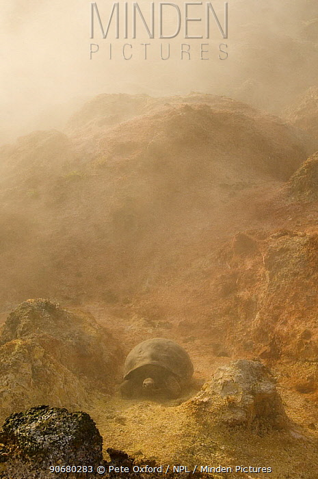 Galapagos Giant Tortoise (Geochelone elephantophus vandenburghi) near fumaroles, Alcedo Volcano crater floor, Isabela Island, Galapagos Islands  -  Pete Oxford/ npl