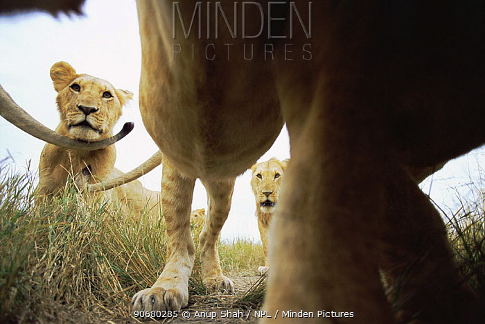 African lion (Panthera leo) pride, low angle shot, Serengeti NP, Tanzania  -  Anup Shah/ npl