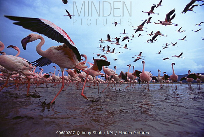 Low level view of Lesser flamingos taking off and flying (Phoeniconaias minor) Wide angle perspective Lake Nakuru National Park, Kenya July 2007  -  Anup Shah/ npl