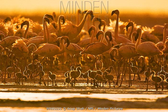 Lesser flamingo (Phoeniconaias minor) adults and chicks, Lake Nakuru NP, Kenya  -  Anup Shah/ npl
