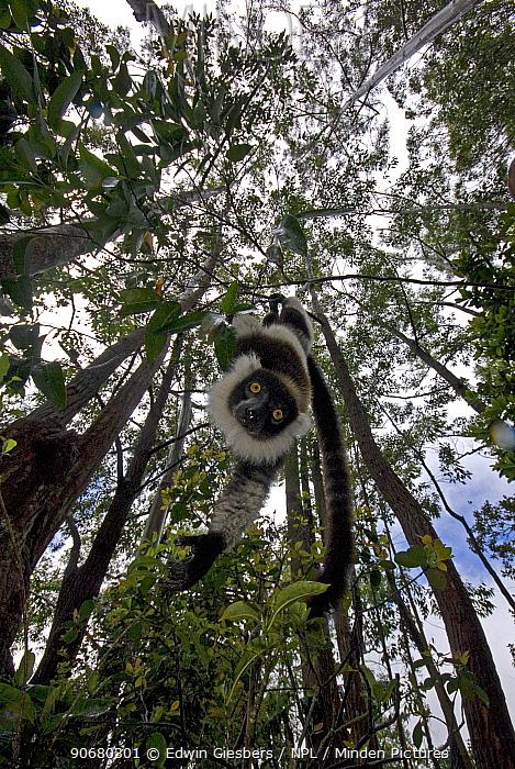 Black and white ruffed lemur (Varecia variegata variegata) hanging from branch, Madagascar, captive  -  Edwin Giesbers/ npl