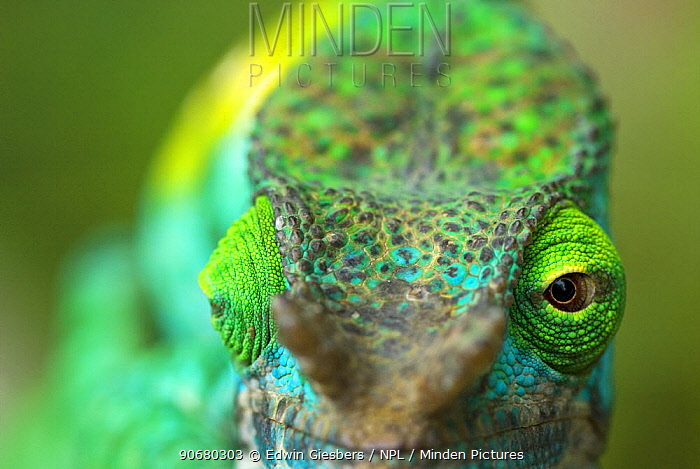 Parson's chameleon (Chamaeleo parsonii) close-up showing eyes facing different directions, Madagascar  -  Edwin Giesbers/ npl