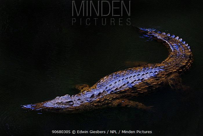 Nile crocodile (Crocodylus niloticus) partially submerged at night, captive, Madagascar  -  Edwin Giesbers/ npl