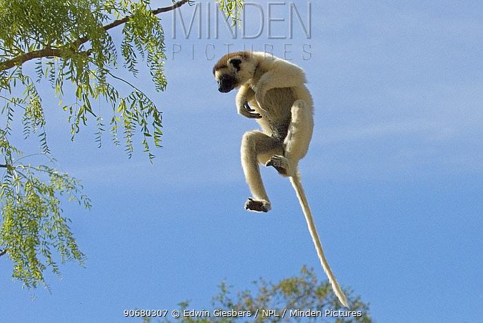 Verreaux's sifaka (Propithecus verreauxi) jumping, Berenty Reserve, Madagascar  -  Edwin Giesbers/ npl