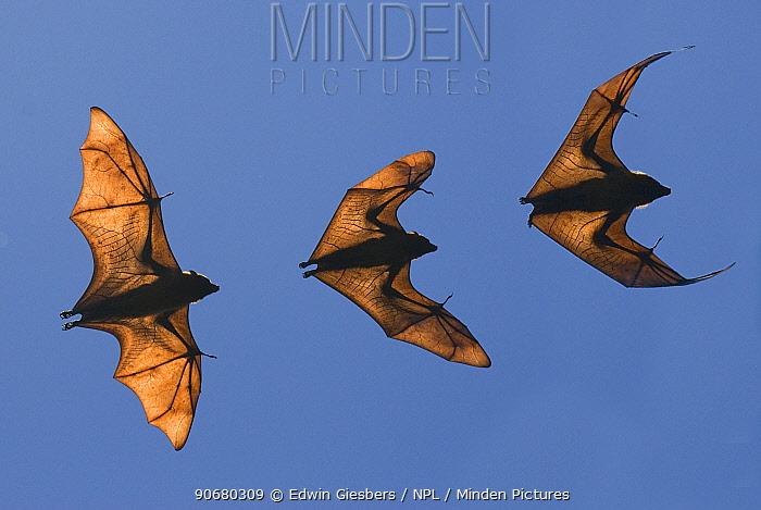 Madagascar fruit bat, flying fox (Pteropus rufus) Berenty Reserve, Madagascar (Digital composite)  -  Edwin Giesbers/ npl