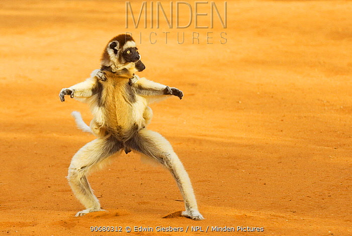 Verreaux's sifaka (Propithecus verreauxi) running with young on back, Berenty Reserve, Madagascar  -  Edwin Giesbers/ npl